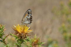 Yellow thistle flowers with butterfly Stock Image