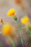 Yellow Thistle Royalty Free Stock Image
