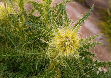 Yellow thistle in Rocky mountain national park Stock Photo