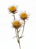 Yellow thistle Stock Photography