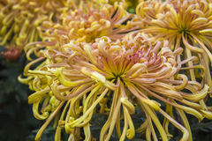 The yellow thorn Chrysanthemum Royalty Free Stock Image