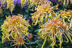 The yellow thorn Chrysanthemum Stock Images