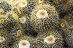 Yellow Thorn of green cactus Royalty Free Stock Image