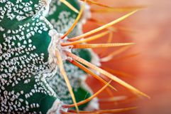 Yellow thorns beautiful green cactus with white specks, closeup. Cactus Astrophytum Ornatum on orange background. Yellow thorns beautiful green cactus with Royalty Free Stock Photos