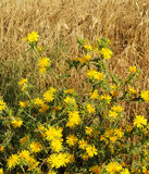 Yellow thorny flowers of thistle. 1 Royalty Free Stock Image