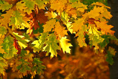 Yellow three leaves Royalty Free Stock Photography