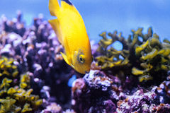 Yellow three spot angelfish Apolemichthys trimaculatus Stock Photo