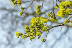Yellow thriving Norway Maple, Acer platanoides,. With blurred background in light of Sunrise stock photography