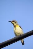 Yellow throat sunbird Royalty Free Stock Photo