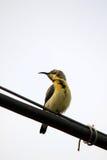 Yellow throat sunbird Stock Images