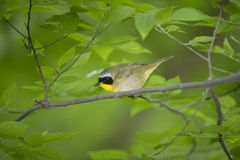 Yellow Throat Warbler: Geothlypis trichas Royalty Free Stock Photos