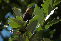 Yellow throat warbler sitting in acorn tree. Yellow throated warbler sitting in a acorn tree next to the pond Stock Photos