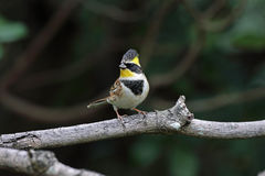 Yellow-throated Bunting, Emberiza elegans Stock Image