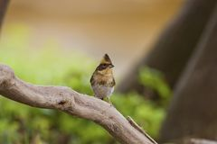 Yellow-throated Bunting,Emberiza elegans Royalty Free Stock Photography