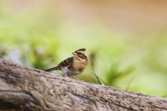 Yellow-throated Bunting,Emberiza elegans Stock Images