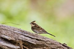 Yellow-throated Bunting,Emberiza elegans Royalty Free Stock Photo
