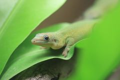 Yellow-throated day gecko. Kinyongia multituberculata on the leaf stock images