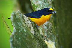 Yellow-throated Euphonia, Euphonia hirundinacea, blue and yellow exotic bird from the Costa rica Stock Photos