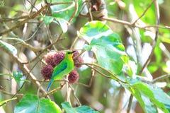 Yellow-throated leafbird Stock Photography