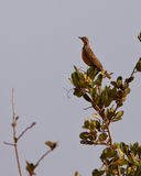 Yellow-throated Longclaw Royalty Free Stock Images