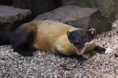 Yellow-throated marten. The yawning yellow-throated marten Royalty Free Stock Image