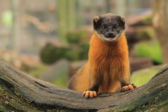 Yellow-throated marten. The yellow-throated marten standing on the wood trunk Stock Photo
