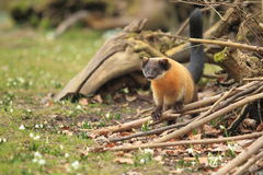Yellow throated marten Stock Photography