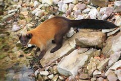 Yellow throated marten. The yellow throated marten at the river Royalty Free Stock Photography