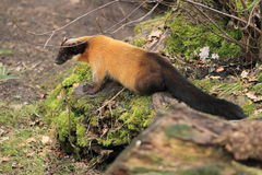 Yellow-throated marten Stock Image