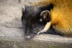 Yellow-throated marten stock photography