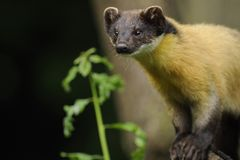 Yellow-throated Marten (Martes flavigula). The Yellow-throated Marten is a medium-sized carnivore of the weasel family with an orange-yellow dark brown coat stock image