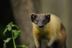 Yellow-throated Marten (Martes flavigula). The Yellow-throated Marten is a medium-sized carnivore of the weasel family with an orange-yellow dark brown coat stock photo