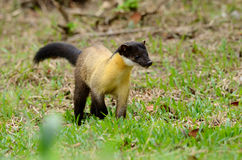 Yellow-throated Marten (Martes flavigula) royalty free stock photo