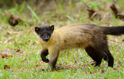 Yellow-throated Marten (Martes flavigula) Stock Photography