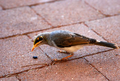 The Yellow-throated miner bird on the pavement Stock Photo