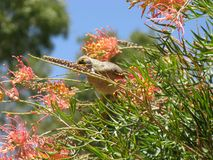 Yellow-throated Miner with flowers Royalty Free Stock Photo