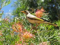 Yellow-throated Miner with flowers Stock Photo