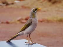 The Yellow throated Miner on a table Royalty Free Stock Image