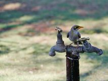 The Yellow throated Miner Royalty Free Stock Image