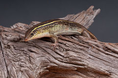 Yellow-throated plated lizard. Common and widespread insectivorous lizard Royalty Free Stock Images