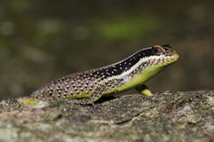 Yellow-throated plated lizard. Perched on a tree Royalty Free Stock Photos