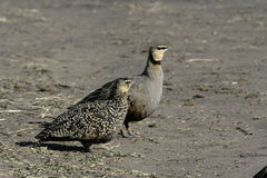 Yellow-throated sandgrouse, Pterocles gutturalis Royalty Free Stock Photos