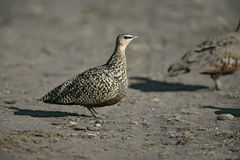 Yellow-throated sandgrouse, Pterocles gutturalis Stock Images