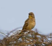 Yellow Throated Sparrow (Petronia Xanthocollis) Royalty Free Stock Photo