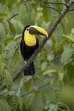 Yellow-throated toucan - Ramphastos ambiguus. Large colorful toucan from Costa Rica forest Stock Images