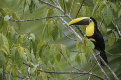 Yellow-throated toucan - Ramphastos ambiguus. Large colorful toucan from Costa Rica forest Stock Image