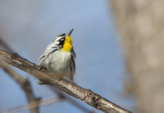 Yellow-throated Warbler Stock Photography