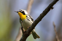 Yellow-throated Warbler royalty free stock image