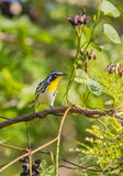Yellow-throated Warbler on a branch with fruits Stock Images