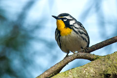 Yellow-throated Warbler Stock Images